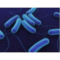 Bacillus cereus Analizi