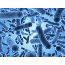 Sularda Sülfit İndirgeyen Anaerob Clostridia Sporl