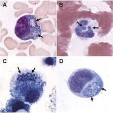 Canine Anaplasmosis, IgG (Anaplasma phagocytophilu